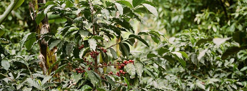 Кофе арабика из Коста-Рики
