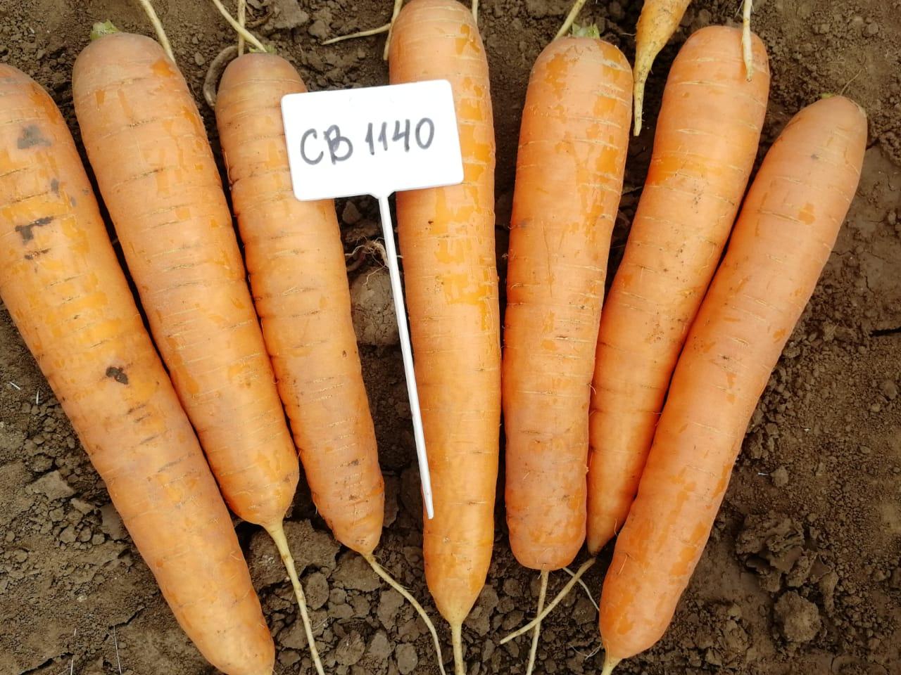 Seminis - морковь СВ 1140