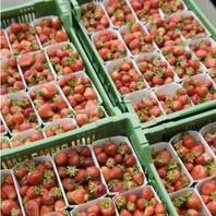 Ящики для ягод