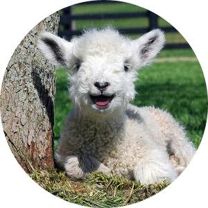 Веселая овечка