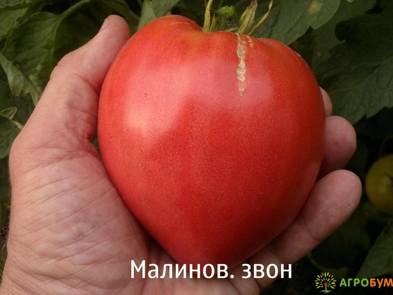 Купить семена Томат Малиновый звон F1 0,1 г по низкой цене, доставка почтой наложенным платежом по России, курьером по Москве - интернет-магазин АгроБум