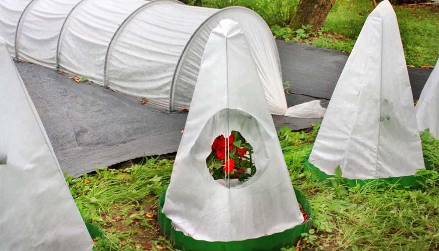 Защита роз от заморозков