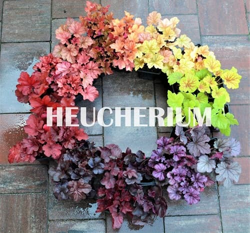 Заказывайте гейхеры, гейхерелы и тиареллы в профессиональном питомнике Heucherium.UA