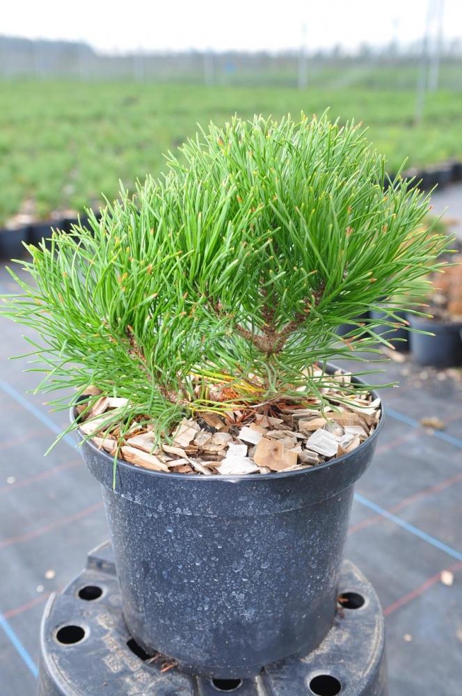 Сосна горная мугус  Pinus mugo var. Mughus
