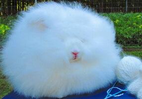 Ангорский кролик - пряжа