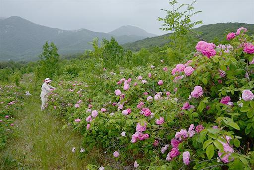 Крымские плантации розы