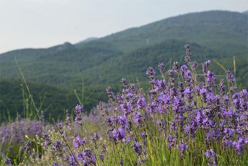 Крымские плантации лаванды