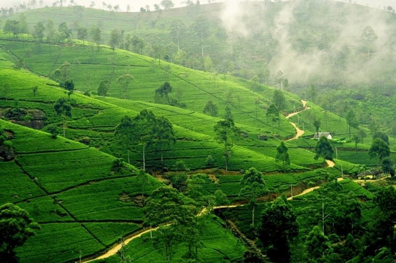 Чайные плантации Шри Ланка