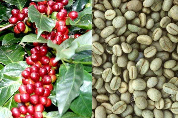 фото зернового кофе арабика