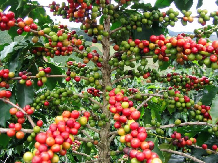 фото зернового кофе робуста