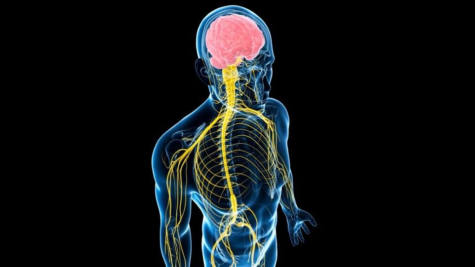 Фасція містить в 10 разів більше нервових закінчень, ніж м'язи