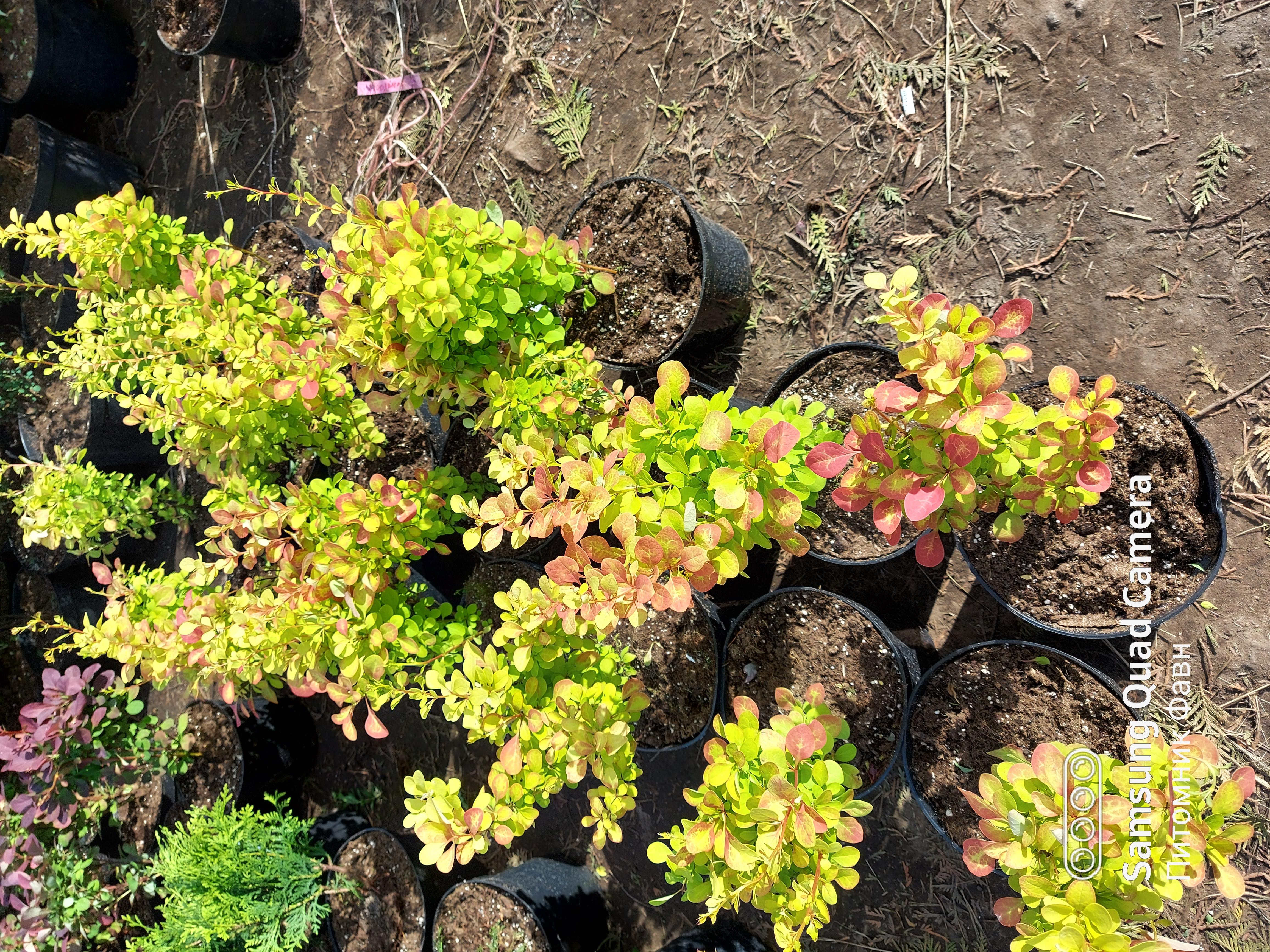 Купить лиственные кустарники в питомнике фавн