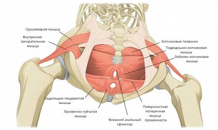 Мышцы малого таза женщины