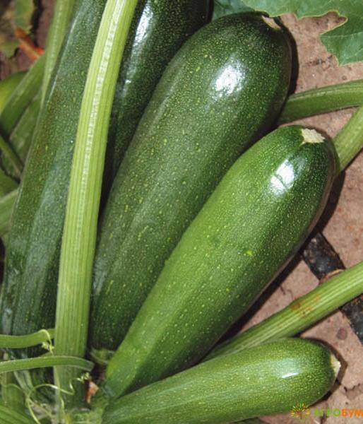 Купить семена Кабачок Нефрит 1 г по низкой цене, доставка почтой наложенным платежом по России, курьером по Москве - интернет-магазин АгроБум