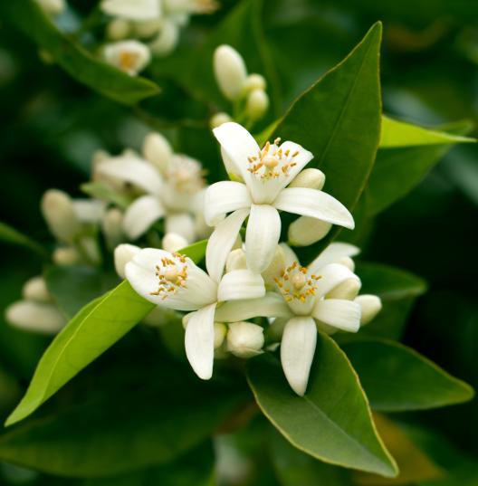 Верхние ноты: Цитрусовые цветы