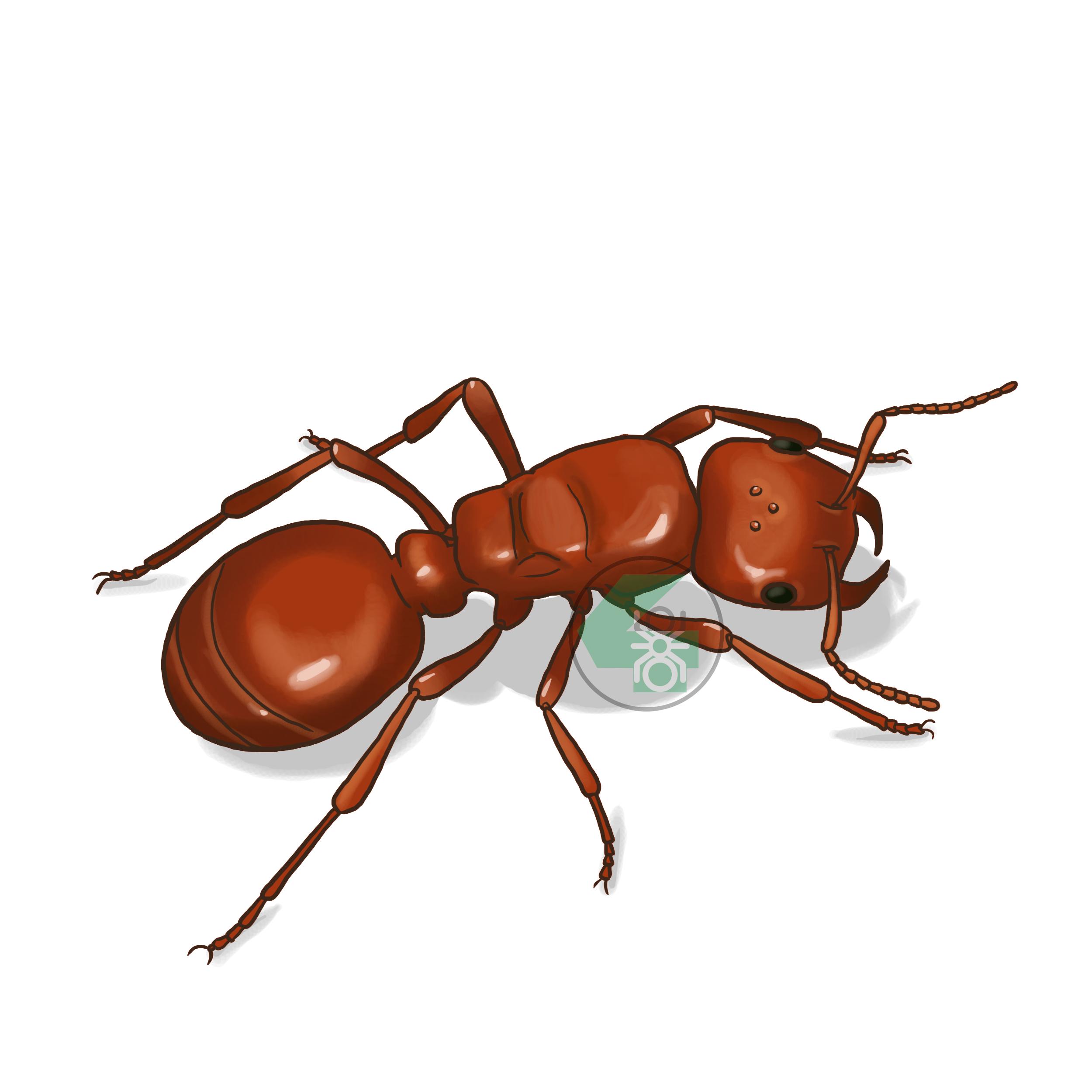 Polyergus rufescens (муравей-амазонка)