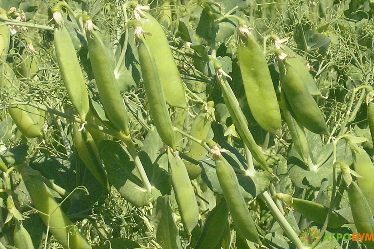 Купить семена Горох Батрак посевной 10 г по низкой цене, доставка почтой наложенным платежом по России, курьером по Москве - интернет-магазин АгроБум