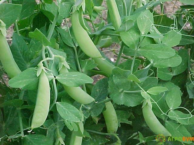 Купить семена Горох Фуга 10 г по низкой цене, доставка почтой наложенным платежом по России, курьером по Москве - интернет-магазин АгроБум