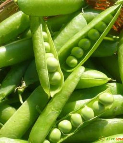 Купить семена Горох Первенец, сахарный 10 г по низкой цене, доставка почтой наложенным платежом по России, курьером по Москве - интернет-магазин АгроБум