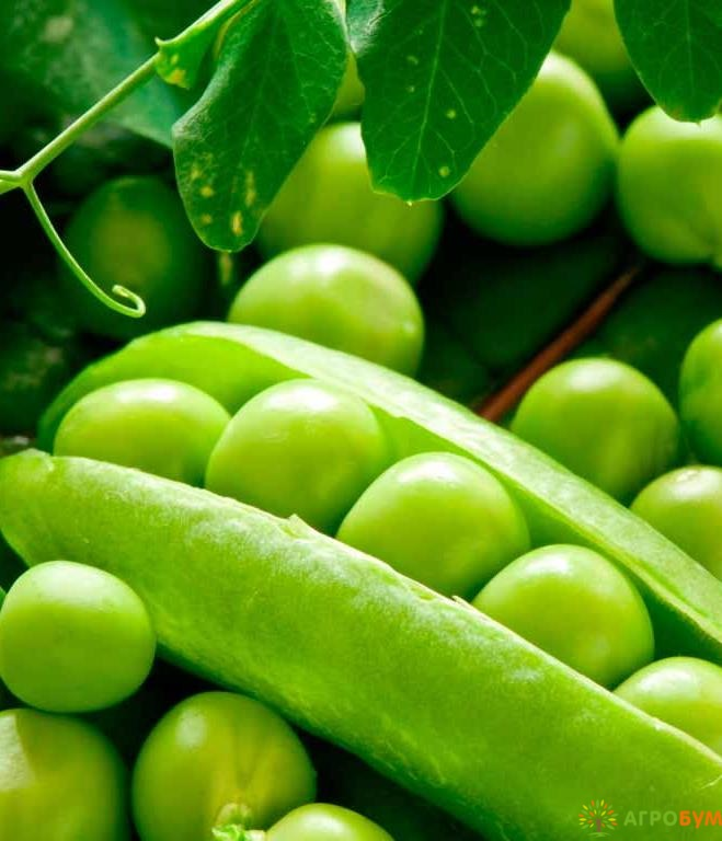Купить семена Горох Кельведонское чудо 10 г по низкой цене, доставка почтой наложенным платежом по России, курьером по Москве - интернет-магазин АгроБум