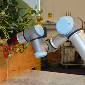 В Англии роботы заменят людей на сборе клубники