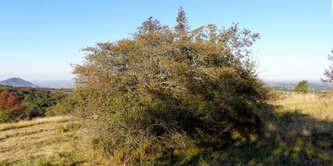 Боярышник корень лечебные свойства и противопоказания