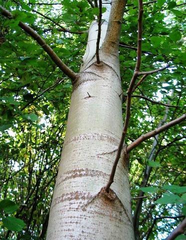 Осина кора лечебные свойства и противопоказания