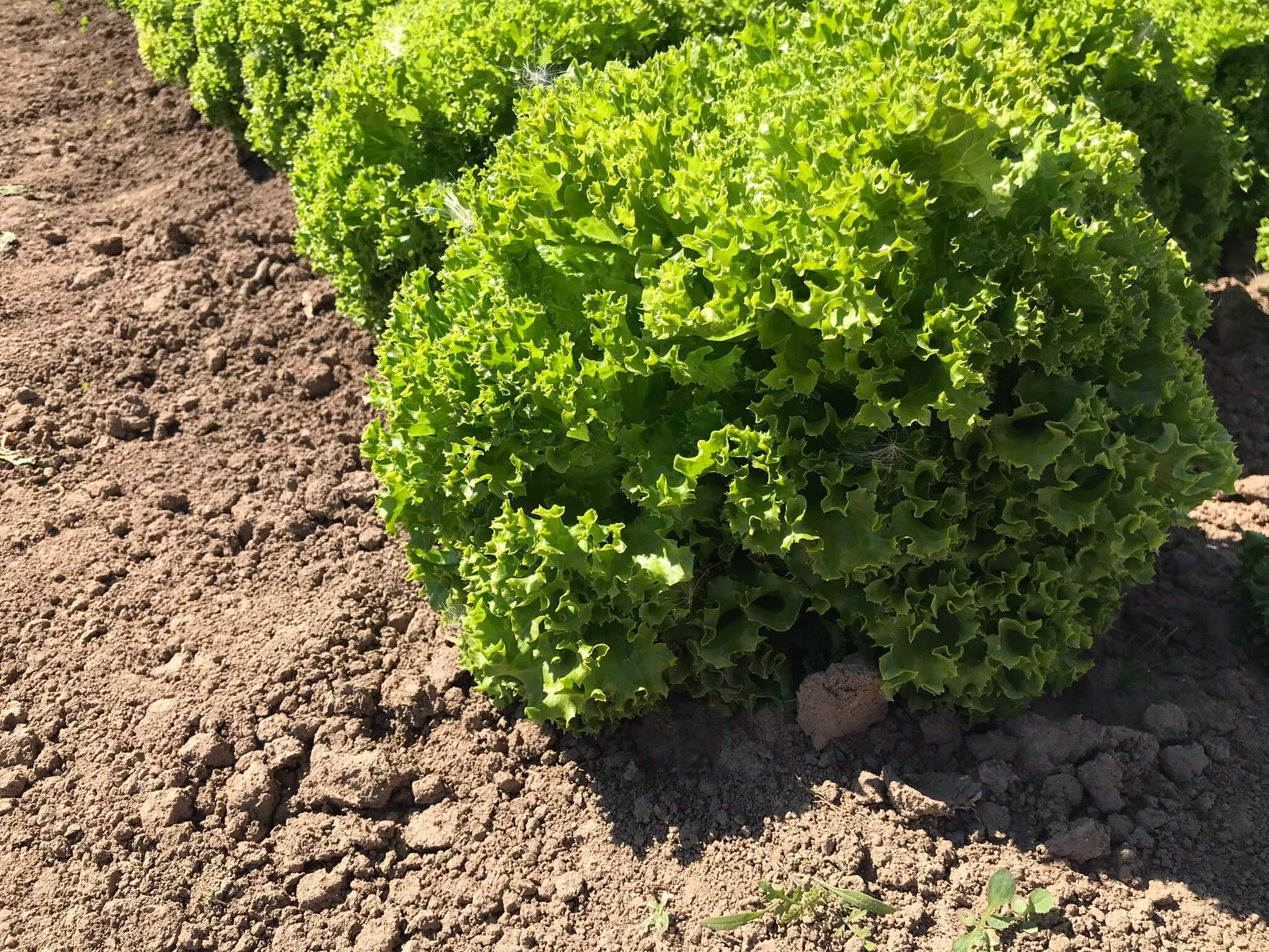 Технология выращивания салата в условиях открытого грунта от Rijk Zwaan/Райк Цваан