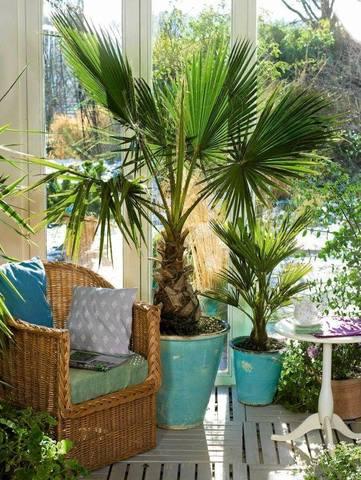 ПАЛЬМА КОМНАТНАЯ - виды пальм и их характеристики.