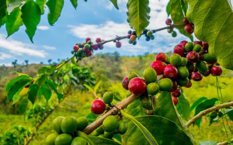 Кофейная ягода