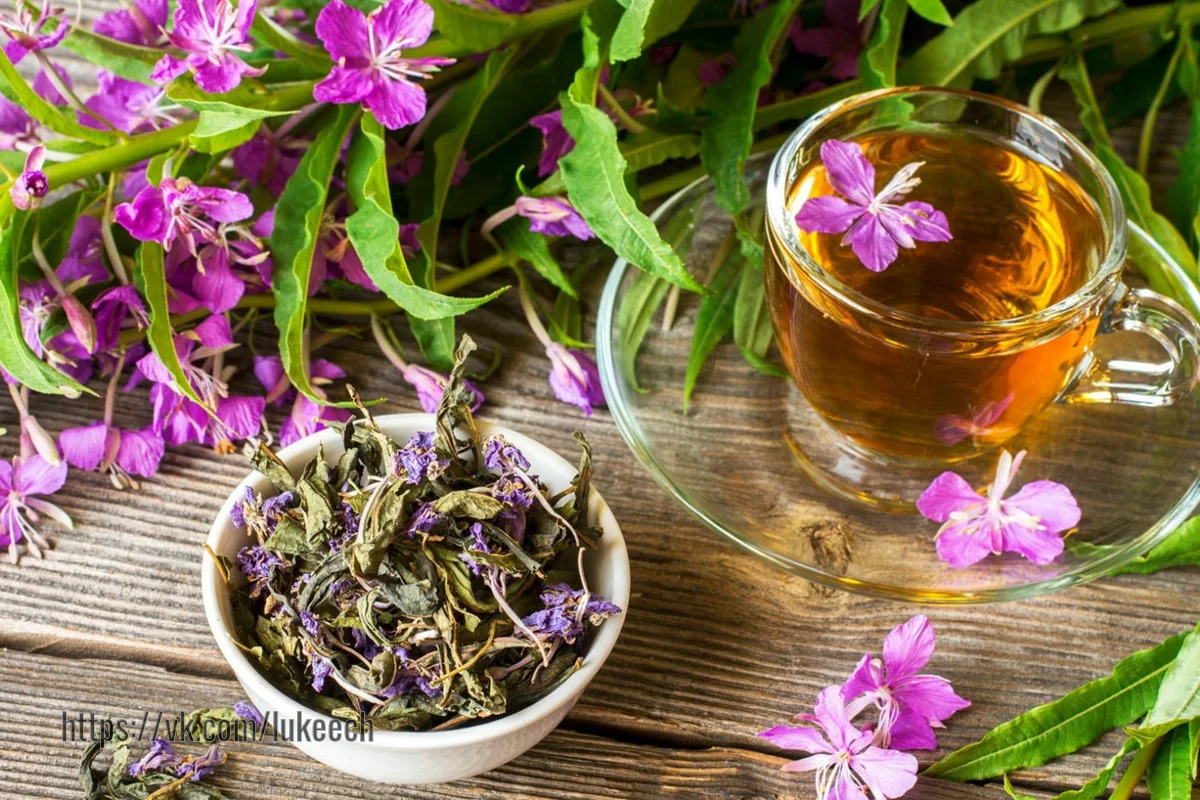 Копорский чай, Иван-чай и  Кипрей - в чем разница?