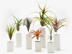 Необычные растения Атмосферные Тилландсии.