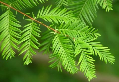 Метасеквойя древнейшая (Metasequoia glyptostroboides)