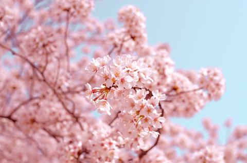 Что такое праздник ханами в Японии