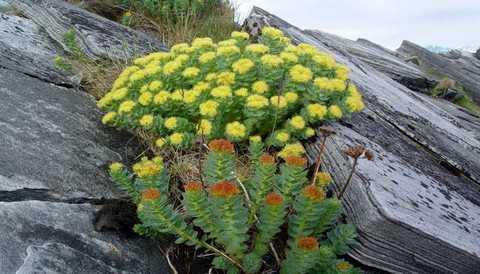 Золотой корень (Родиола розовая) лечебные свойства и противопоказания