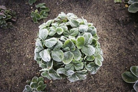 Памятка начинающему садоводу. Защищаем растения от возвратных заморозков!