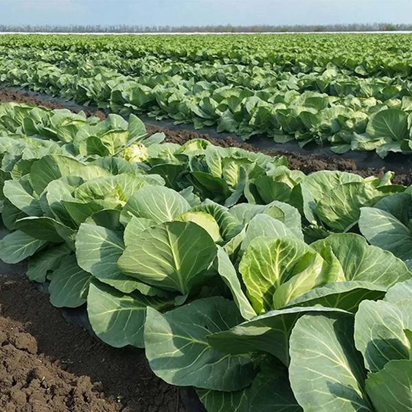 Технологии выращивания капусты белокочанной