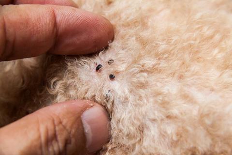Как выводить блох у собак