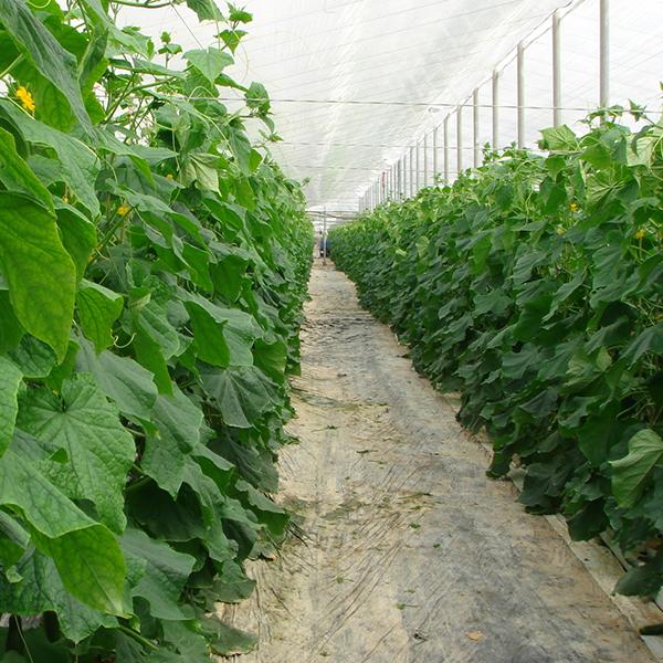 Выращивание огурца в весенних плёночных теплицах
