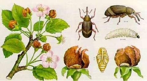 Яблонный цветоед (Anthonomus pomorum) - средства и методы борьбы с ним