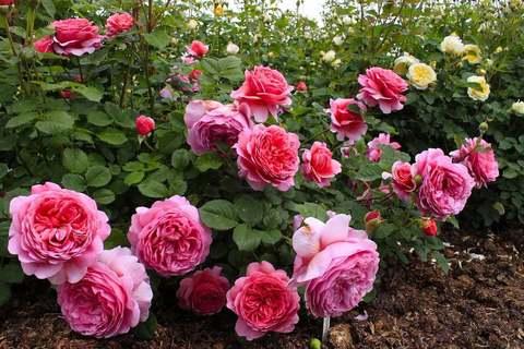 Розы со скидкой 15%
