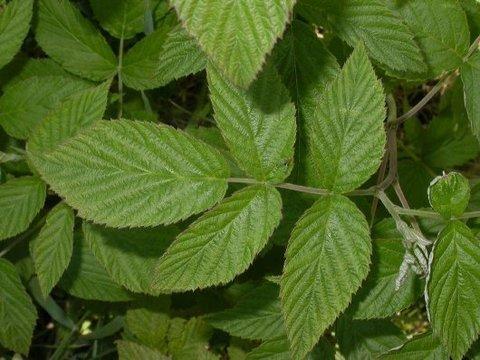 Малина лист полезные свойства и противопоказания