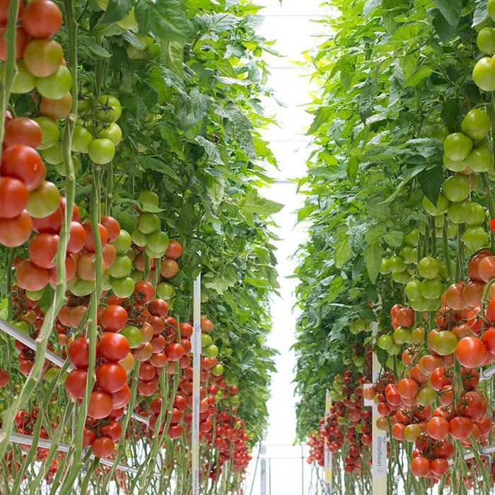 Nunhems: Технология выращивания томатов в теплицах