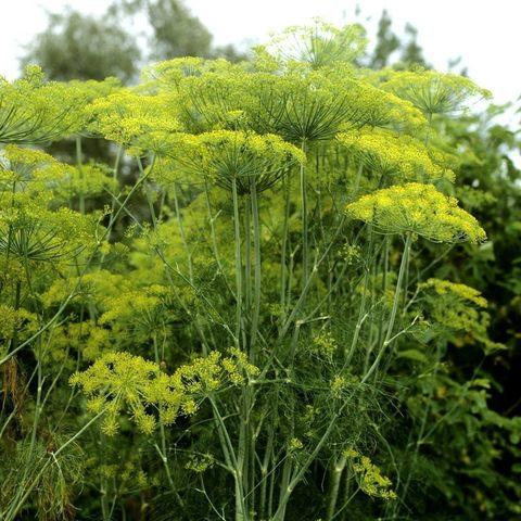 Укроп семена лечебные свойства и противопоказания