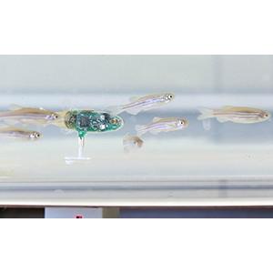 Рыбка-робот стала вожаком стаи