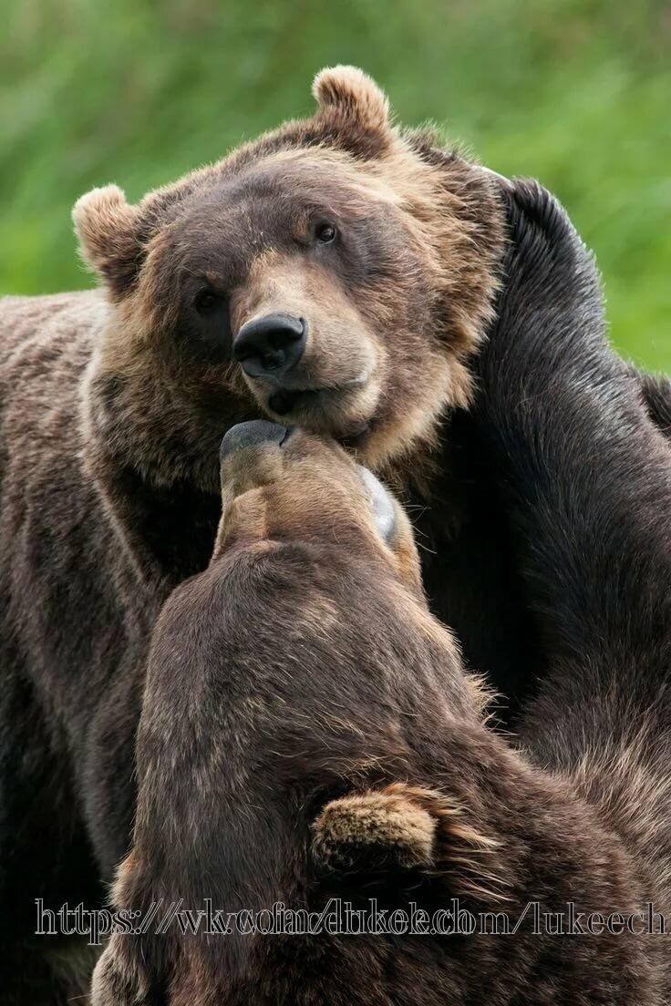 Сказ о том, почему медведица Маня выбрала в пару Жору