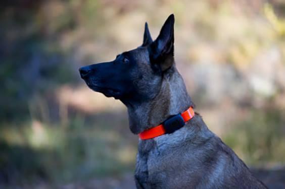 Почему необходимо купить GPS-ошейник для собаки?