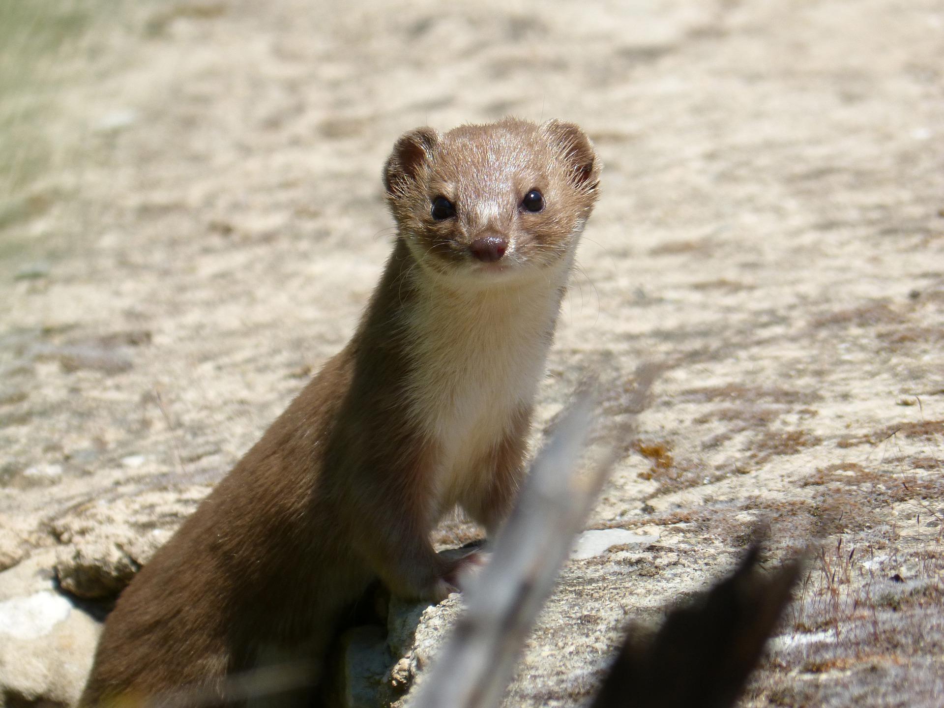 Ласка - самый маленький кровожадный таёжный хищник