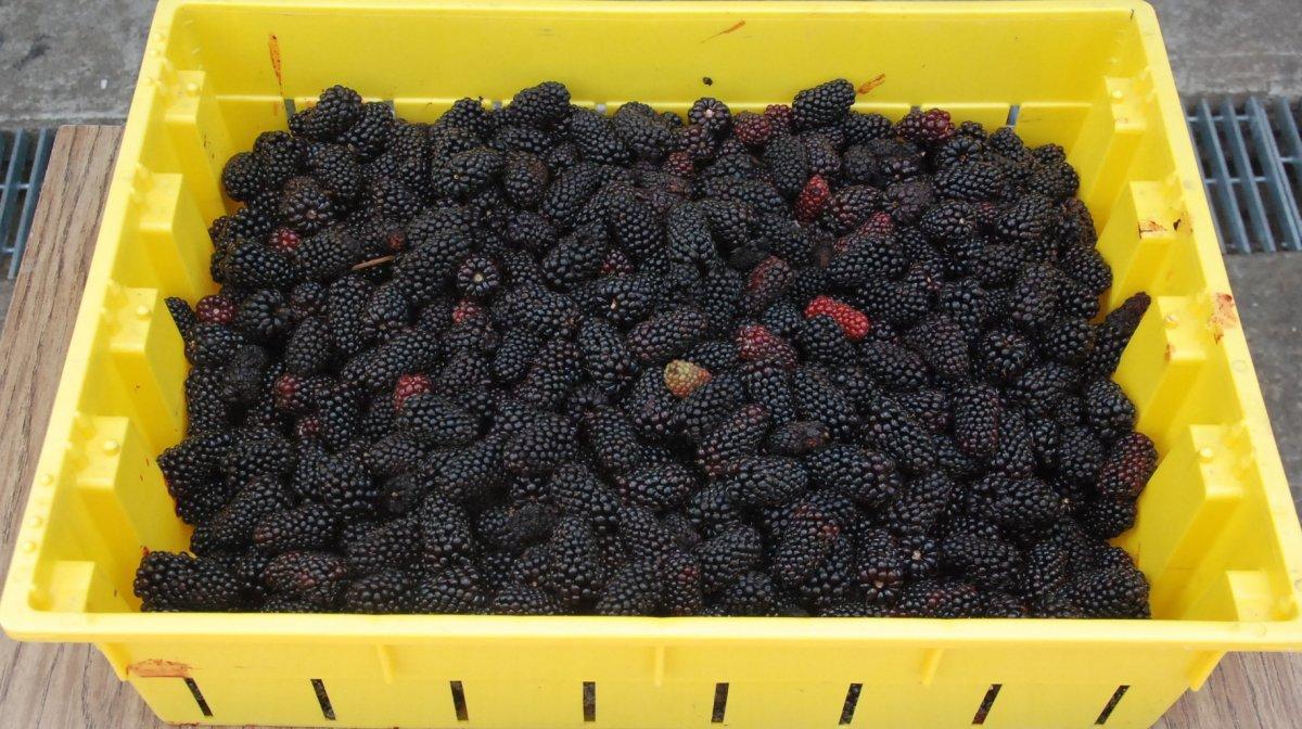 Стандарты качества ягод (малина, ежевика)