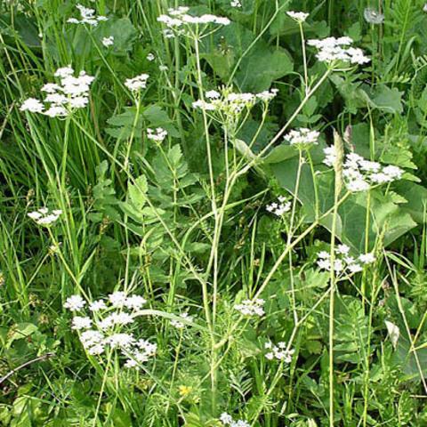 Анис семена полезные свойства и противопоказания